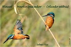 Blauet - Martín pescador - (Alcedo atthis) (Enllasez - Enric LLaó) Tags: aves aus bird ocells pájaros blauet martinpescador sebes flix 2011 montaje