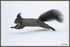Ecureuil fuite 171227-01-P (paul.vetter) Tags: écureuil ardilla eichhörnchen squirrel mammifère rongeur