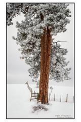Frosty Ponderosa (Bruce Walter) Tags: exploremerritt beautifulbc ponderosapine pinetree frozen frozenlake grasslands marquartlake lundbombc hoarfrost