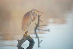 Stump Art (gseloff) Tags: tricoloredheron bird perch wood water bayou wildlife animal mudlake armandbayou pasadena texas kayak gseloff