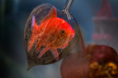 Poisson rouge (Paul Leb) Tags: macro macromondays doubleexposure poisson rouge red fish pescado roja
