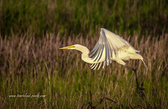 Egret After Take-Off (tclaud2002) Tags: egret bird wadingbird greategret wildlife fly flying flight outdoors greatoutdoors nature mothernature pineglades naturalarea pinegladesnaturalarea jupiter florida usa