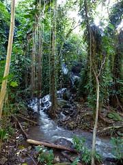 Wailua River State Park - Fern Grotto (24) (pensivelaw1) Tags: hawaii kauai wailuariverstatepark ferngrotto