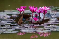 Striving (JohnKuriyan) Tags: bengaluru karnataka india in water lily