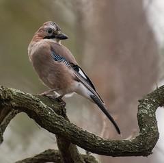 . . . never look back (hardy-gjK) Tags: birds jay eichelhäher oiseaux vögel nikon hardy nature wildlife natur tiere animals
