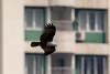 Security Detail (JohnKuriyan) Tags: kakkanad kerala india in brahmini kite redbacked sea eagle