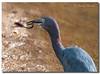 Little Blue Heron & Snake (Betty Vlasiu) Tags: little blue heron snake bird nature wildlife florida