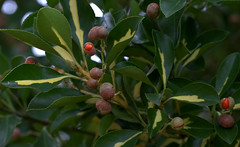 _MG_2882.CR2 (jalexartis) Tags: shrubbery shrub landscaping landscape autumn fall berries berry