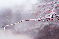 (Alin B.) Tags: alinbrotea nature winter december january iarna snow ice cold frozen snowy branch tree berry
