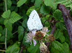 Holly Blue, New Forest NP, England (east med wanderer) Tags: butterfly england hampshire newforestnationalpark uk hollyblue celastrinaargiolus insect nationalpark bramble