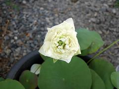 Sacred Lotus 'White Peony'  บัวหลวง 'ไวท์ พีโอนี่' 7 (Klong15 Waterlily) Tags: ไวท์พีโอนี่ whitepeony sacredlotus lotus nelumbo nelumbonucifera บัวหลวง บัวหลวงขนาดเล็ก บัวหลวงสีขาว