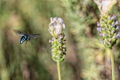 Neon Cuckoo Bee (crafty1tutu (Ann)) Tags: macro animal insect bee neoncuckoobee blue blueandblack tiny fast garden mygarden inmygarden flower whitelavender inflight crafty1tutu canon7dmkii canon60mm28macrolens anncameron naturescarousel naturethroughthelens coth coth5