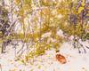 Stumped Corgi (happytreephotos) Tags: corgi dog pet cammy wyoming snow winter fall leaves orange white cold weather season change transition animal forest trees pine bowed overloaded weight wet aspen