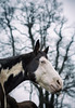 charlie (Jen MacNeill) Tags: horse horses equine moody animal pet paint pinto