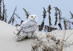 Snowy Owl (swmartz) Tags: nikon nature newjersey outdoors wildlife snow owls december 2017