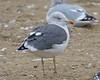 Lesser Black-backed Gull (Keith Carlson) Tags: lesserblackbackedgull larusfuscus gulls