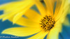The Heart of Winter (frederic.gombert) Tags: winter flower sun yellow flowers heart daisy color blue up close garden plant nikon contrast