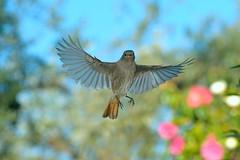 Il volo del codirosso spazzacamino (rubacolor) Tags: codirosso spazzacamino volo ali
