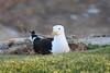 Seagull Nesting (Rckr88) Tags: seagull nesting seagullnesting gull gulls bird birds plettenbergbay southafrica plettenberg bay south africa westerncape animals animal nature outdoors travel travelling nest