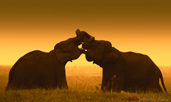 Elephants in love in the warm prairies of Sri Lanka (Maurizio Esitini) Tags: sri lanka nikon p610 elephant safary park nature love kiss sunset warm color