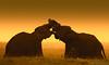 Elephants in love in the warm prairies of Sri Lanka (Maurizio Esitini) Tags: sri lanka nikon p610 elephant safary park nature love kiss sunset warm color