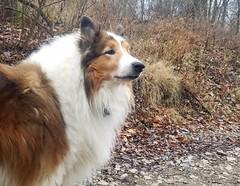 Happy Tenth Birthday, Ben the Brave! (~ Liberty Images) Tags: ben benedict collie dog sable roughcollie herdingdog tenthbirthday