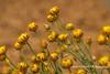 Paper Daisies (Anna Calvert Photography) Tags: grevillea australiannative native plant flowers australia floral nature canberrabotanicalgardens macro