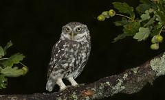 Little Owl (Athene noctua). (Bob Eade) Tags: athenenoctua littleowl owl owls sussex eastsussex lewes oak birds summer avian nature nikon wildlife woodland raptor