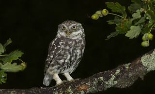 Little Owl (Athene noctua).