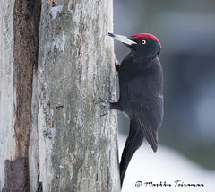 Palokärki-3846 (Markku Teiramaa) Tags: blackwoodpecker dryocopusmartius finland kuusamo kuusamonaturephotography markkuteiramaa suomi svartspett bird lintu palokärki