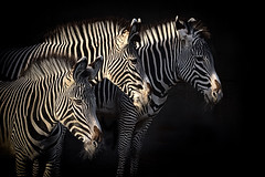 Zebras in light and shade (footloose9 Dennis Farrell) Tags: zebra wildlife park animals shade stripes black white
