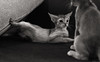 Motion Kittens 45 (peter_hasselbom) Tags: cat cats kitten kittens abyssinian 10weeksold play game fight hunt playfight playing naturallight motionblur motion bw blackandwhite 2cats 2kittens twocats