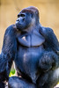 Oscar Jonesy (Thomas Hawk) Tags: animal ape bayarea california oscarjonesy sfbayarea sanfrancisco sanfranciscobayarea sanfranciscozoo usa unitedstates unitedstatesofamerica aniimal gorilla monkey silverback silverbackgorilla zoo us fav10 fav25 fav50