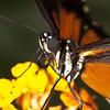 Heliconius ismenius (Ouwesok) Tags: canoneos30d tamron2890mm heliconiusismenius passiebloemvlinder vlinder vlindertuin burgersmangrove sigmaem140dg