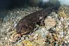 Japan_Gifu_XXX-20150502-0254 (mtv1983) Tags: giantsalamander gifu japan japanesegiantsalamander martinvoeller オオサンショウウオ ヴォーラーマーティン