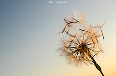 Diente de Leon (NatyCeballos) Tags: cielo macrofotografia macrografia macro dientedeleon panadero planta libertad ciel heaven nikond7000 hierba dandelion minimalista naturaleza detalles