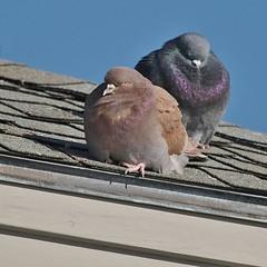 Brown Rock Pigeon, Falmouth Town Landing (Bill Bunn) Tags: rockpigeons falmouth maine