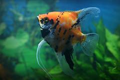 """Skalar Marmor """"Red Devil smoked"""" (Siggital) Tags: fisch fish aquarium tank süswasser freshwater skalar"""