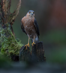 R17_3083-Pano (ronald groenendijk) Tags: cronaldgroenendijk 2017 eurasiansparrowhawk rgflickrrg accipiternisus animal bird birds birdsofprey groenendijk hawk holland nature natuur natuurfotografie netherlands outdoor ronaldgroenendijk roofvogel roofvogels sparrowhawk sperwer vogel vogels wildlife