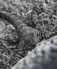 bells waran (cih94) Tags: sydney australien black white bw animal waran bells lizard bokeh