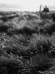 241. FRIENDS:  I'm Sorry ... (Meili-PP Hua 2) Tags: beachside beach seaside dunes sandunes mlpphlandscape lagurusovatuspoaceae harestail dunegrass weeds coastalplants mlpphflora mlpphnature coastalflora coastalgrasses coastalgrass coastalbotanicals dunegrasses beachvegetation beachflora duneflora beachgrass beachgrasses photographypassionsxyz