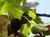 101_6555 (Cassiopée2010) Tags: cévennes nature insecte papillon lesilène fruit figue