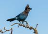 PRETTY'n NOISY (Sandy Hill :-)) Tags: birds bluebirds jays stellersjays birdsofbritishcolumbia birdsofnorthamerica birdsofvancouverisland perchingbirds noisy active pretty sandyhillphotos