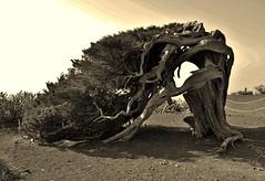 Tree of El Hierro (Simona Simonkey) Tags: hierro canarias canary atlantic island