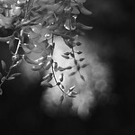 wisteria thumbnail