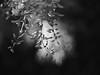 wisteria (Johnson Cameraface) Tags: 2017 may spring olympus omde1 em1 micro43 meyeroptikgorlitzoreston 50mm m42 f18 manualfocus johnsoncameraface wisteria flower tree bokeh monochrome blackandwhite