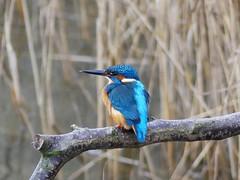 Kingfisher P1530168 (ianpreston) Tags: 2018 kingfisher derbyshire