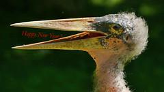 Frohes Neues Jahr all meinen Flickr Freunden! (karinrogmann) Tags: marabu maraboustork marabùafricano happynewyear 2018