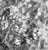 Leopard cub, Namibia (Wayne Marsh) Tags: leopard cub leopardcub babyanimal cat bigcat animaleyes animal mammal okonjima namibia ngc