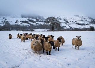 Hungry Sheep, Nine Acre Field, Rosedale
